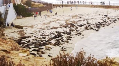 Seals on La Jolla Cove in San Diego — Stok video