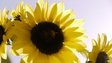 Sunflower and Clear Sky — Stock Video