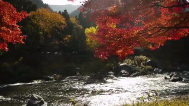 Japanese Maple Trees — Stock Video