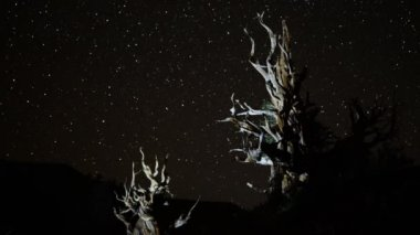 Star Trails over Ancient Bristlecone Pine Trees — Stock Video
