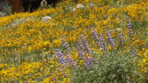 Flores silvestres de California — Vídeo de stock