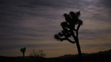 Joshua Tree with Full Moon Night — Stock Video