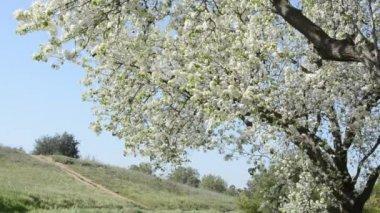 Sakura -Cherry Blossoms — Stock Video
