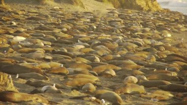 Elephant Seals Colony — Stock Video