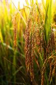 Rice02 — Stock Photo
