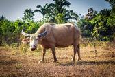 Büffel — Stockfoto