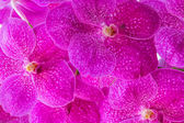 Pink Vanda Orchid Pattern — Stock Photo