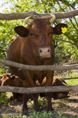 Cow in shelter — Stock Photo