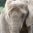 Stock Photo: Wrinkly elephant
