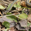Stock Photo: Garter snake in leaves