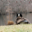 Stock Photo: Preening Canadgoose