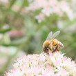 Stock Photo: Foraging honeybee