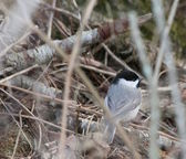 Chickadee on forest floor — Stock Photo