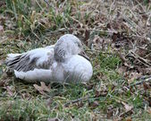 Sleepy snow goose — Stock Photo