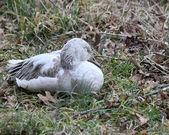 Sleepy snow goose — Stock Photo