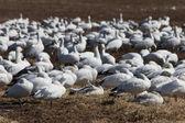 Windy snow geese — Stock Photo