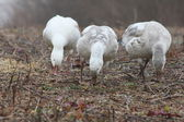 Three feeding snow geese — Stock Photo