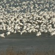 Stock Photo: Snow geese on ice