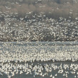 Stock Photo: Snow geese on lake