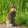 Stock Photo: Goofy rabbit 1