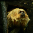 Golden lion tamarin — Stock Photo