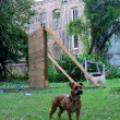 Stock Photo: Dog and rundown building
