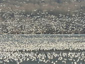 Snow geese on lake — Stock Photo