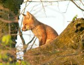 Fox, log, sun — Foto Stock