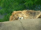 Uykulu aslan — Stok fotoğraf