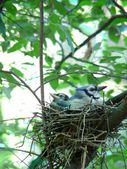 Blue jay nest — Stock Photo