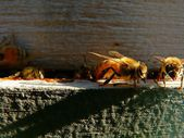 Golden bee — Stockfoto