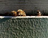 Golden bee — Stock Photo