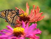 Monarch on zinnia — Stock Photo