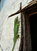 Lizard on plywood — Stock Photo