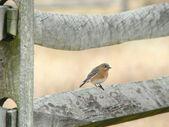Bluebird on fence — Stock Photo