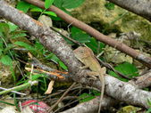 Lizard in undergrowth — Stock Photo