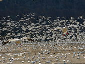 Snow geese approach — Stock Photo