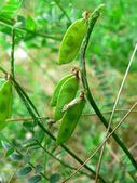 Wild peas — Stock Photo