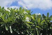 White Frangipani against a clouded sky — Stock Photo