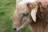 Head of sheep in front of blurred wetland — Stock Photo
