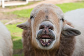 Funny sheep portrait, head and face of sheep — Stock Photo