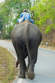 Elephant backside — Stock Photo