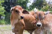 Cow and ox — Stock Photo