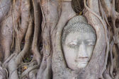 The Head of sandstone Buddha in tree roots at Wat Mahathat, Ayut — Stock Photo