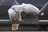 Two white cockatoos kiss together — Stock Photo