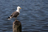 Seagull sitting on a stone column with blue sea background — 图库照片