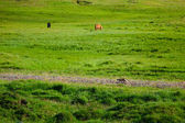 Polar fox running along stone path on green Icelandic meadow against grazing horses background — Stock Photo
