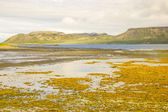 Icelandic coast with flocks of seagulls and yellow algae — Stock Photo