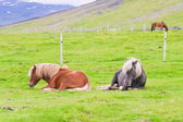 Two Icelandic horses lying on a green pasture against ice mountain background — Zdjęcie stockowe