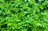 Abstract background of goutweed, top view — Stock Photo